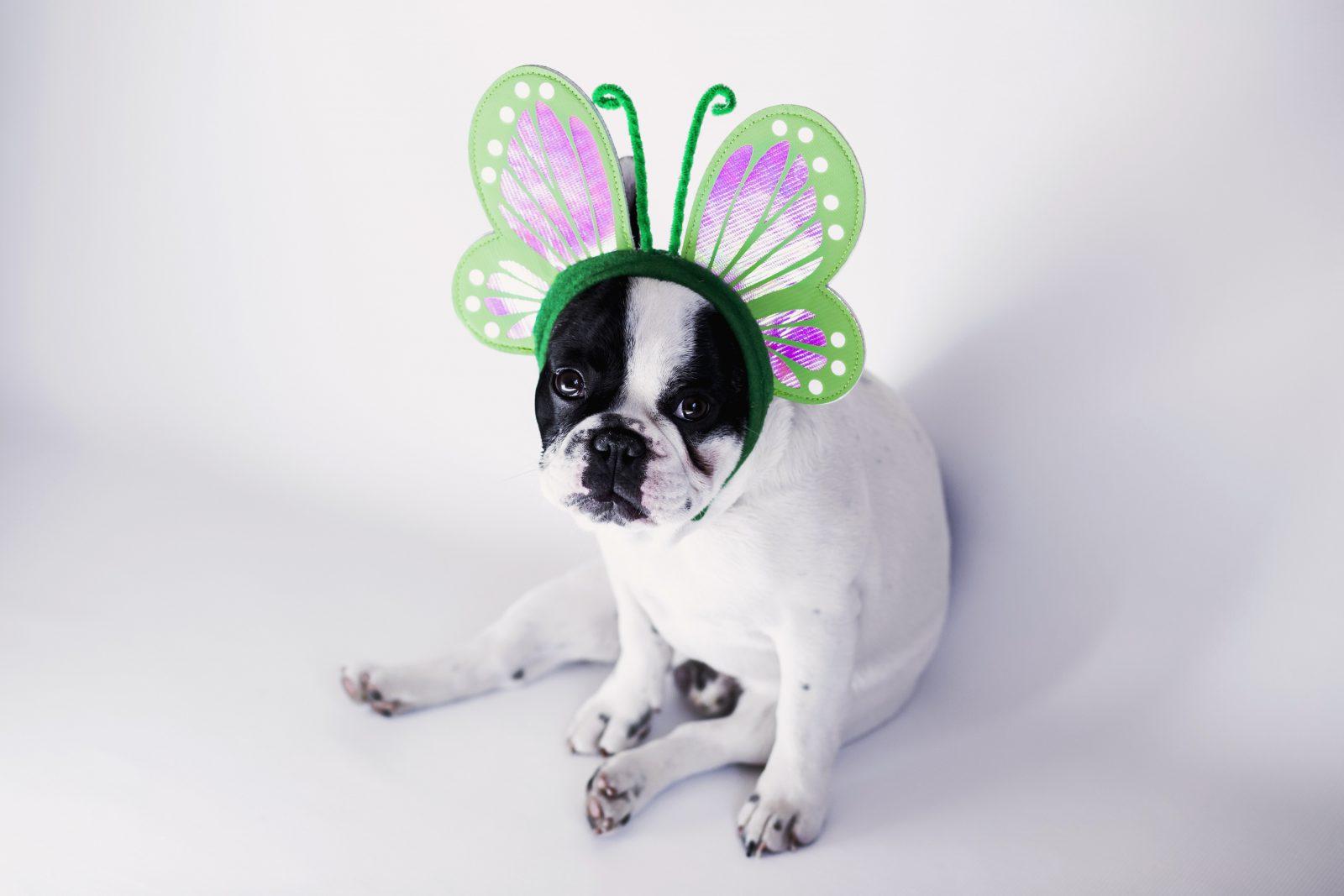 Acessórios para cachorros: Boston terrier com tiara de borboleta - fantasia linda de carnaval.