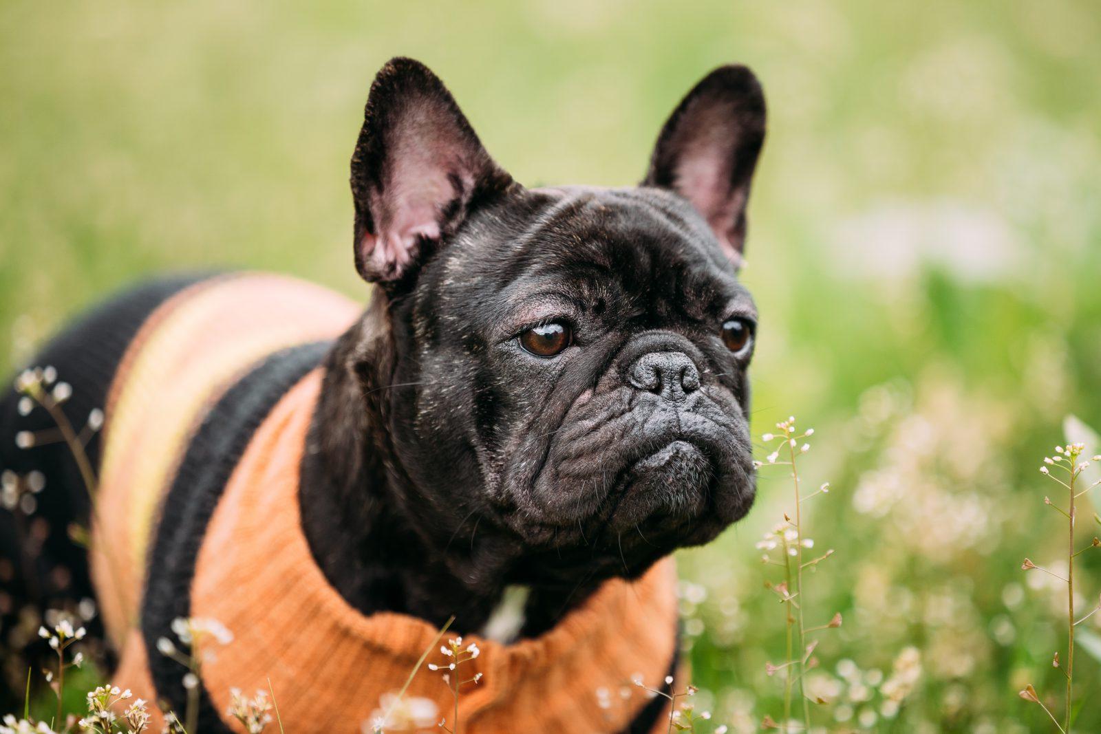Acessórios de cachorro: Buldogue francês preto com roupinha de linha