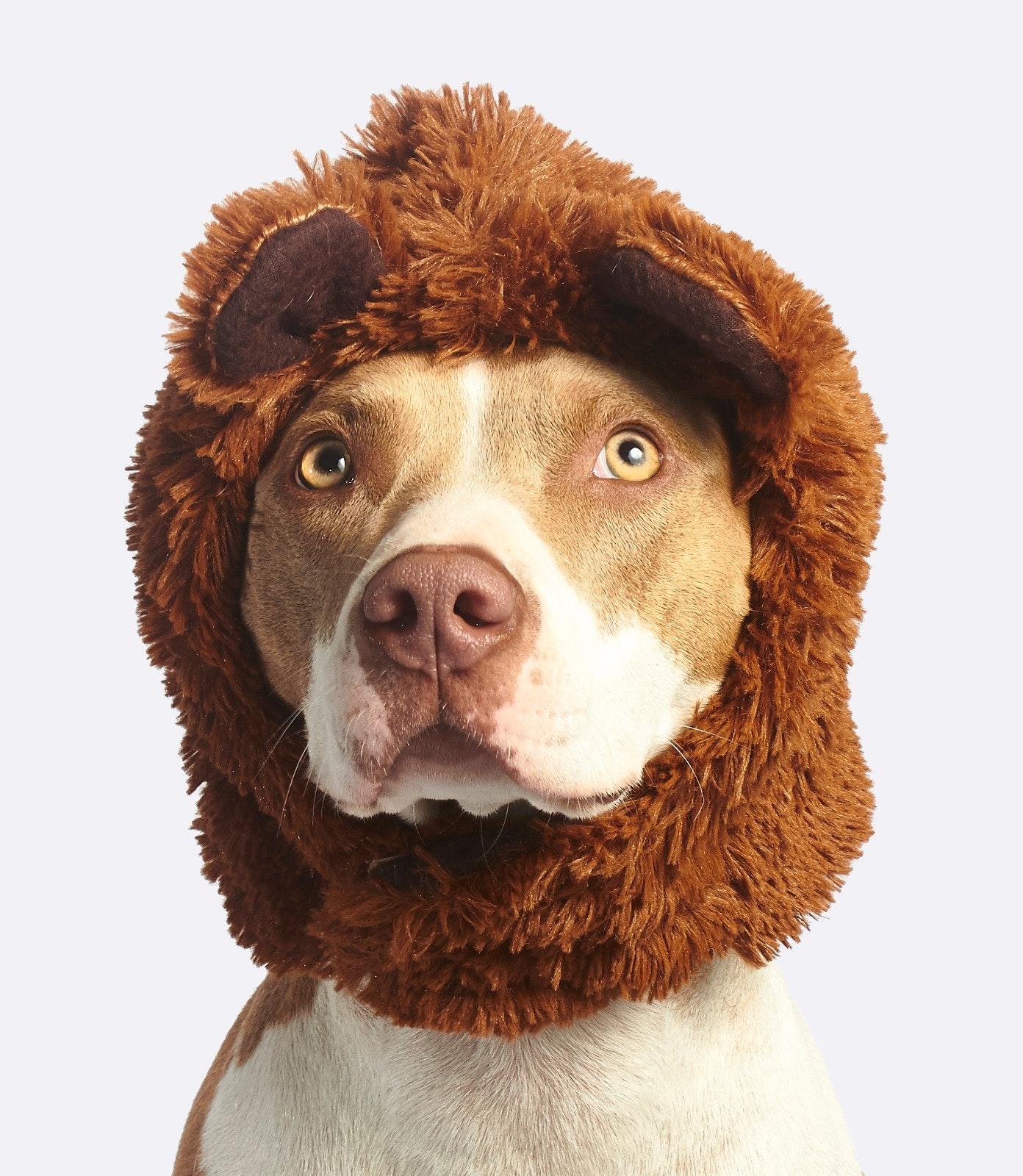 Acessórios para cachorros: Pit Bul terrier com gorro de urso.