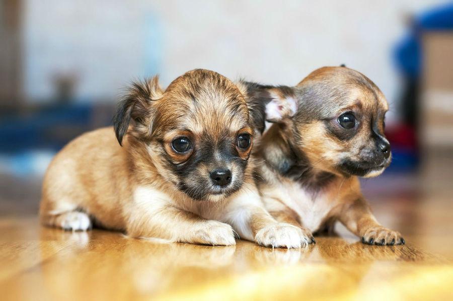 Filhotes de misturas de Chihuahuas