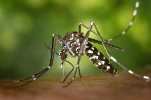aedes aegypti: mosquito da dengue