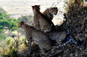 Animais carnívoros incluem o ser humano e felinos como a onça pintada.