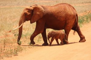 O elefante é um dos animais herbívoros entre muitos outros.