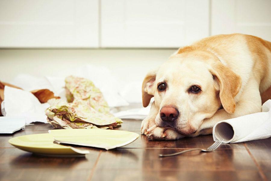 Ansiedade canina: Labrador retriever após surto de destruição por causa de barulho.