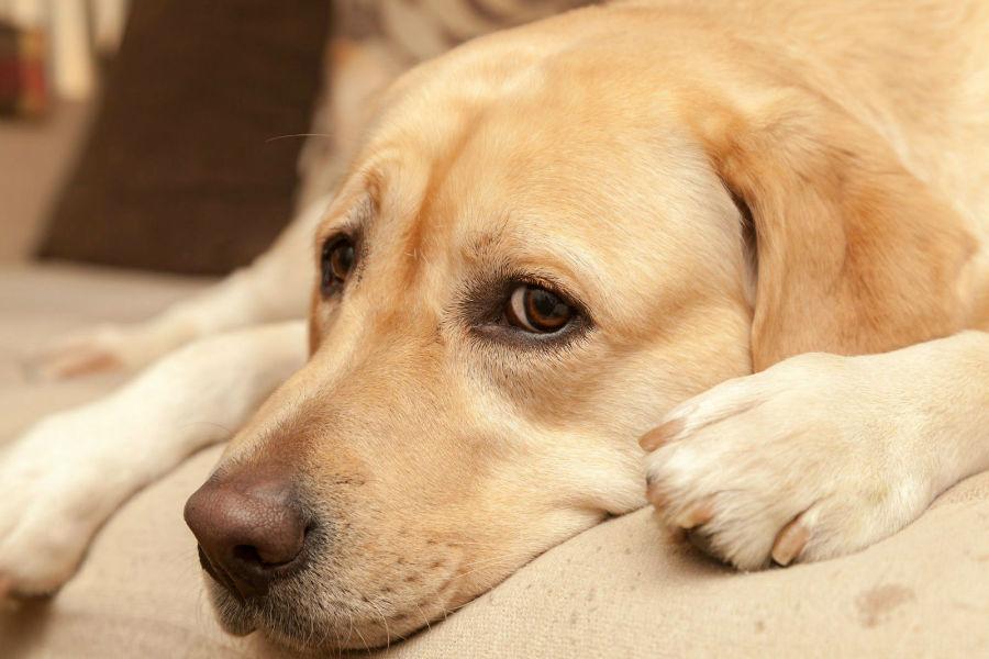 Ansiedade canina: Labrador Retriever acuado por causa de barulho.