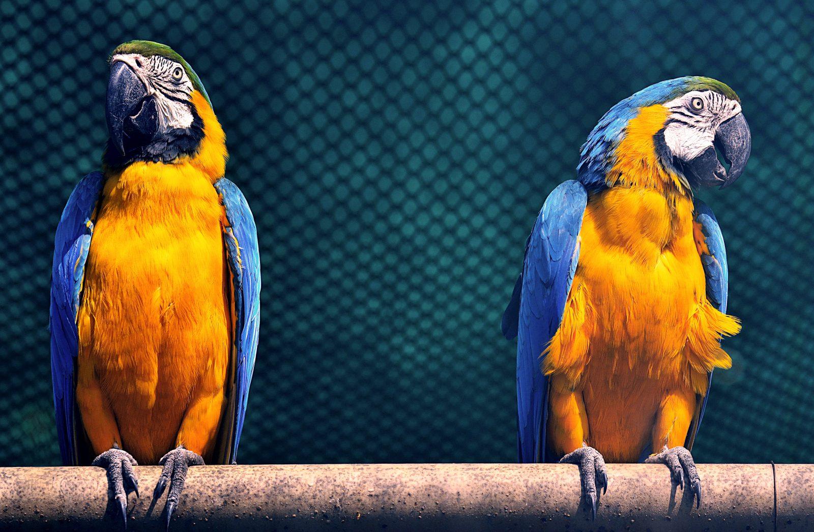A arara azul vive ao norte do brasil, nas florestas tropicais.