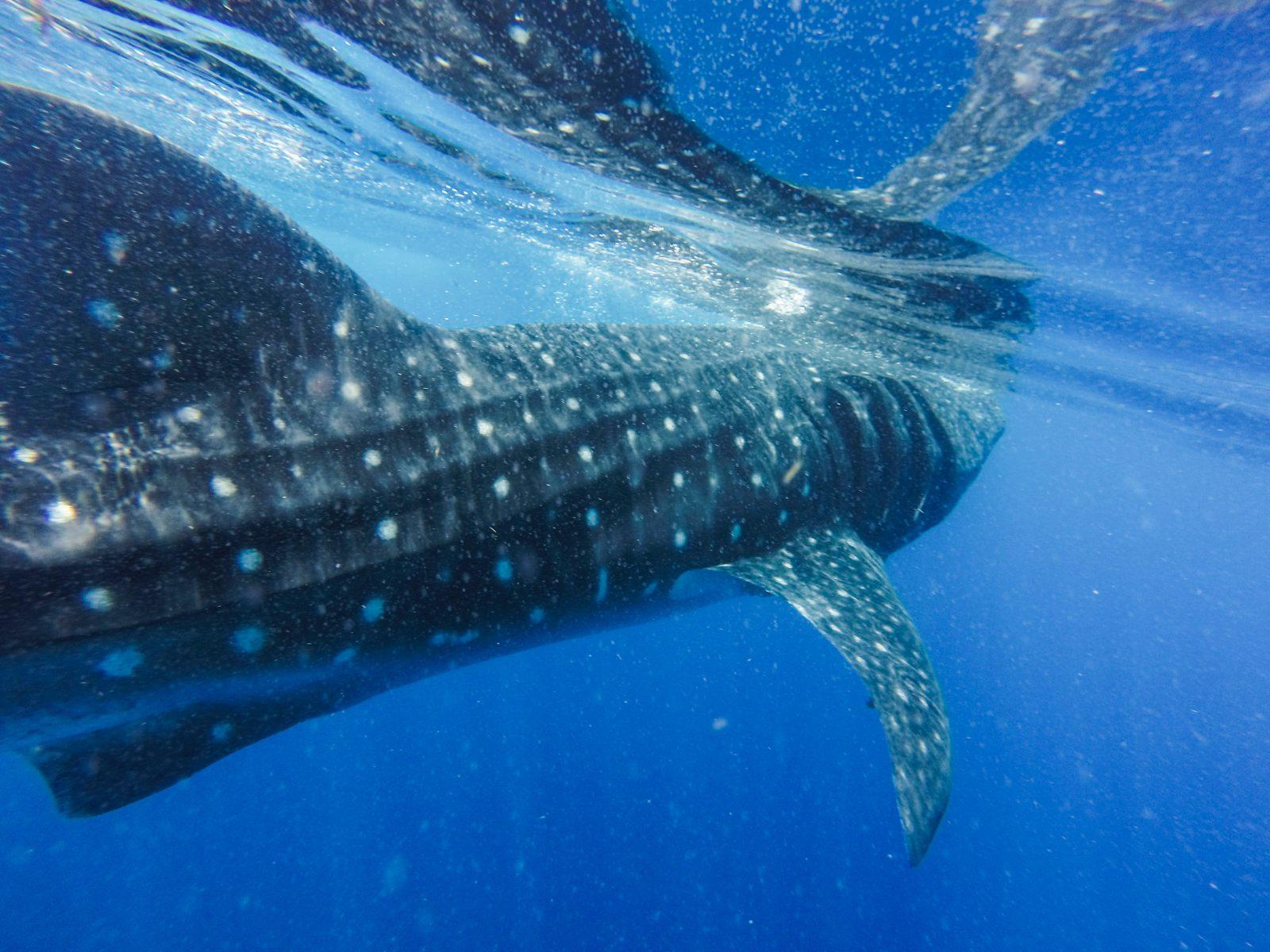 baleia azul maior animal do planeta