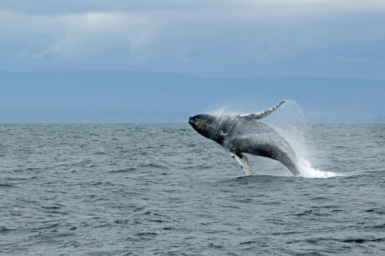 baleia jubarte outros nomes
