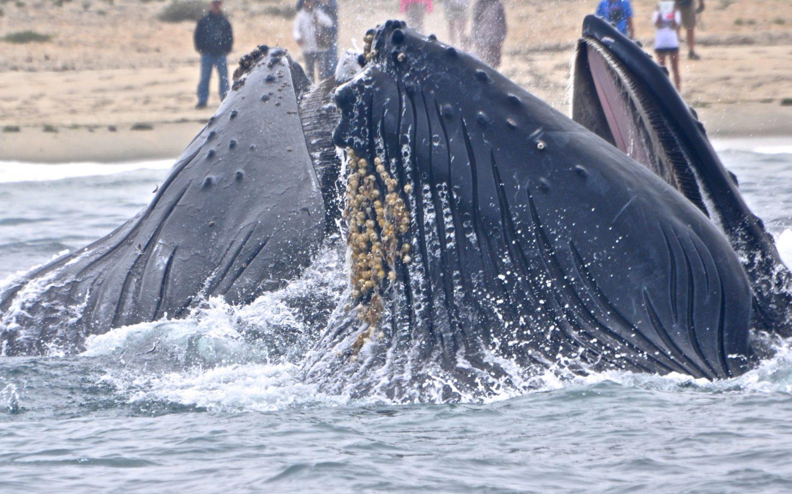baleia jubarte animal extrovertido