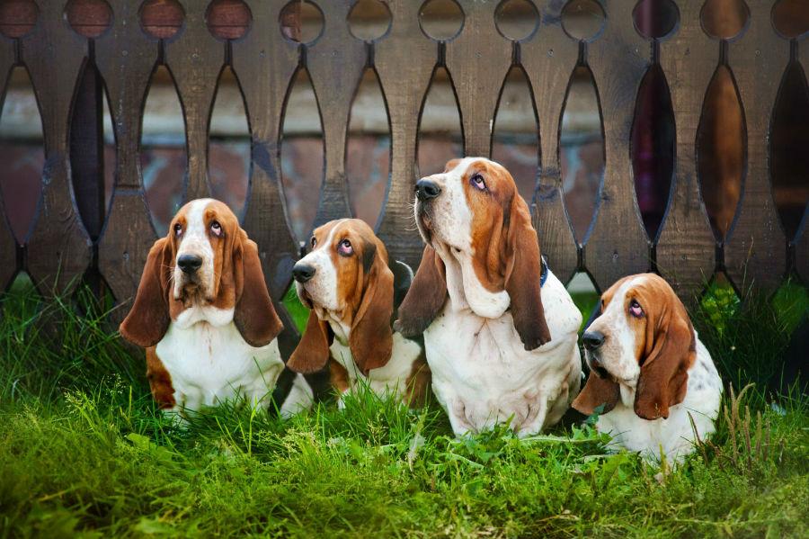 basset-hound-intro