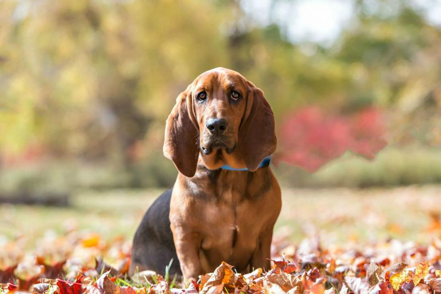 cachorro-basset-hound-manutencao