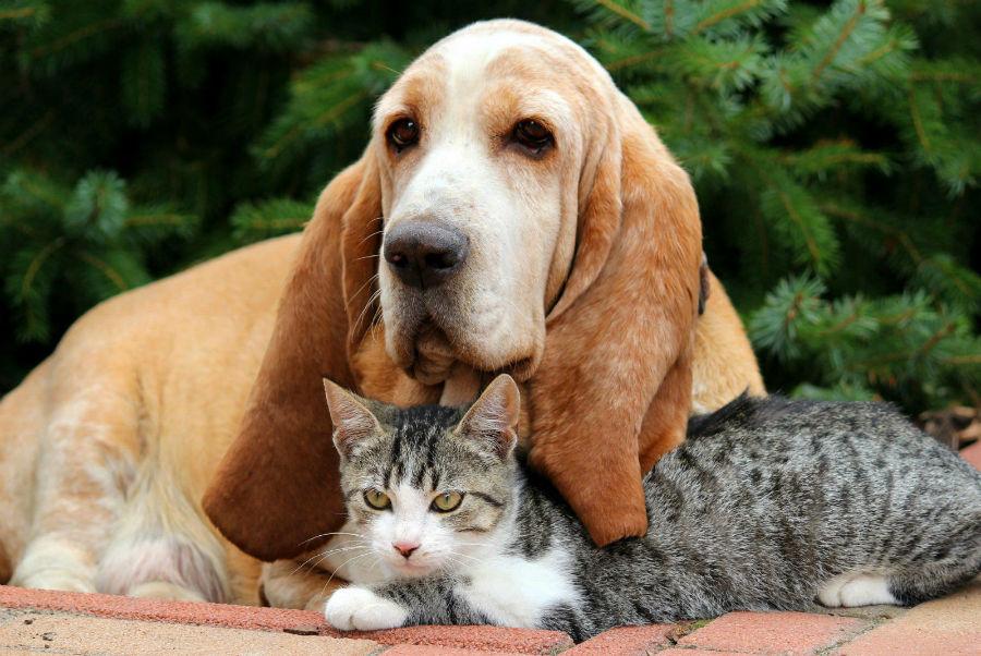 cachorro-basset-hound-personalidade