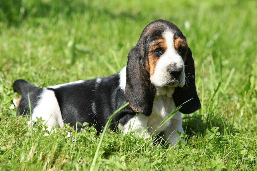 cachorro-basset-hound-saude