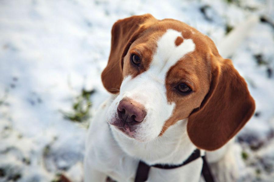 beagle-intro