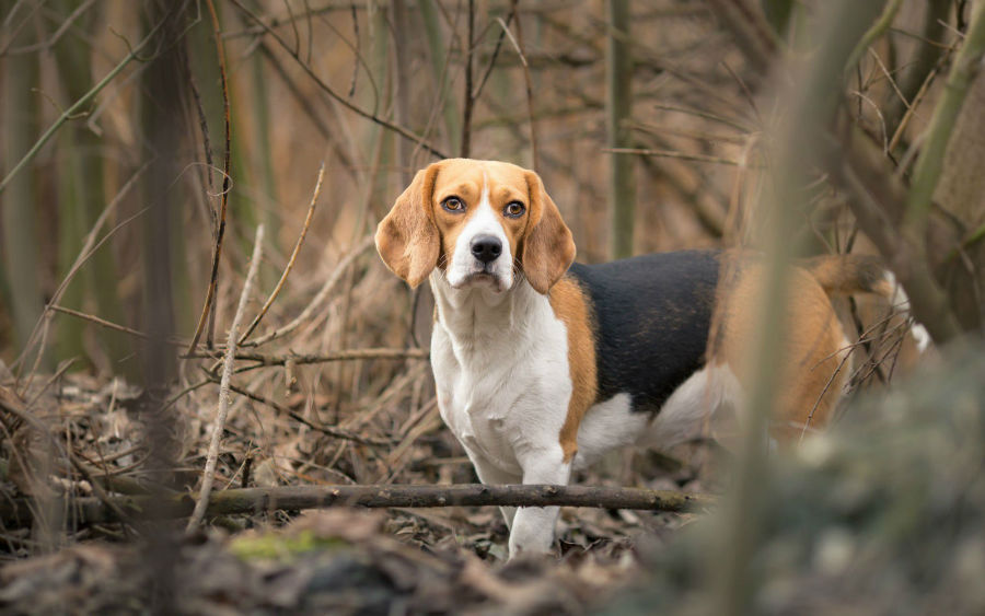 beagle-origem