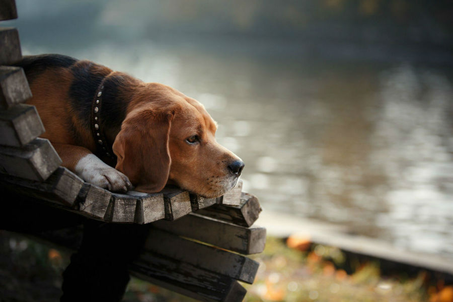 cachorro-beagle-saude