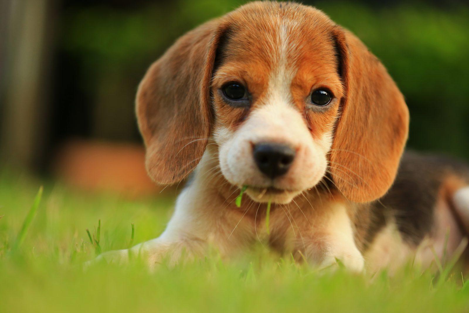 Raça de cachorro pequeno para idosos: Beagle filhote deitado na grama do jardim.