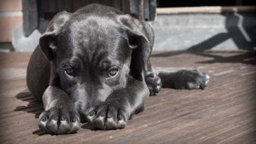 bicheira em cães