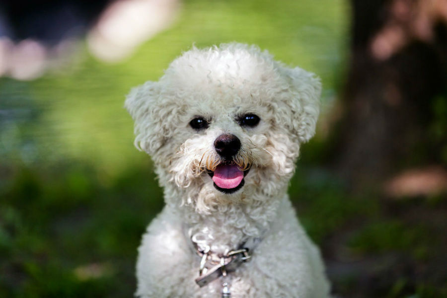 cachorro-bichon-frise-aparencia