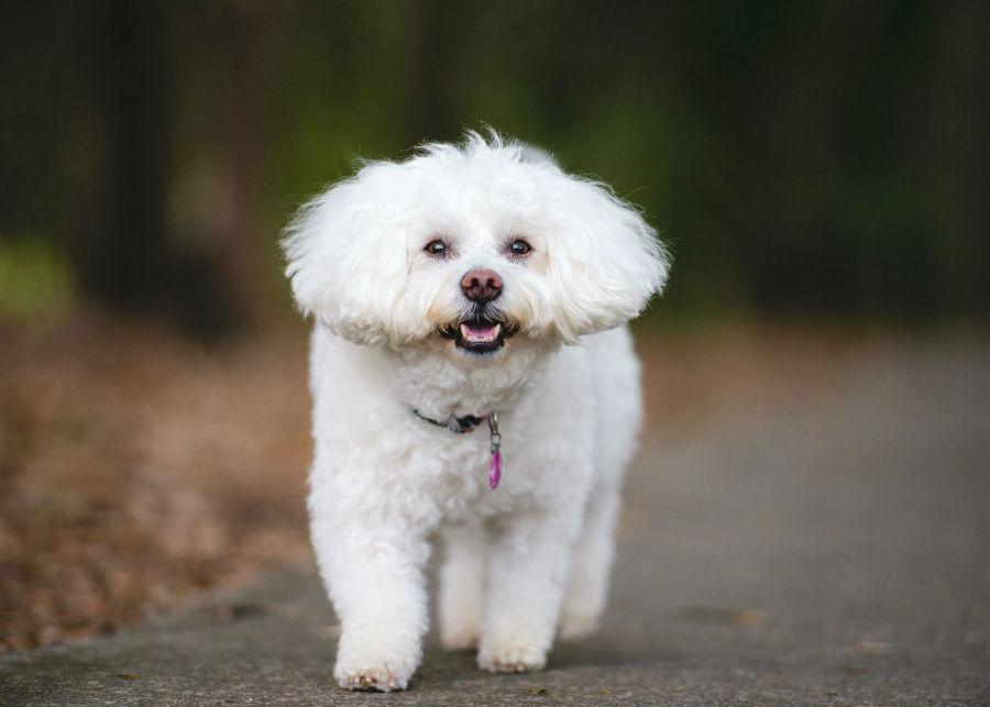 cachorro-bichon-frise-atividades