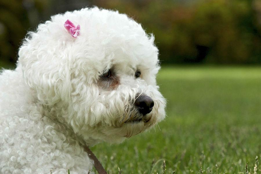 cachorro-bichon-frise-cuidados