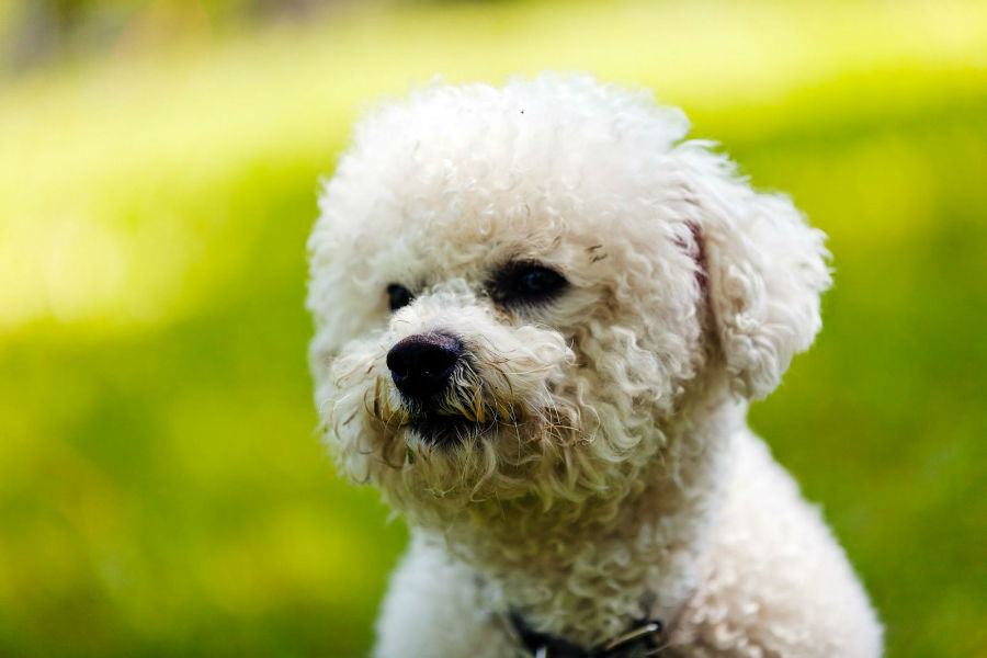 cachorro-bichon-frise-saude