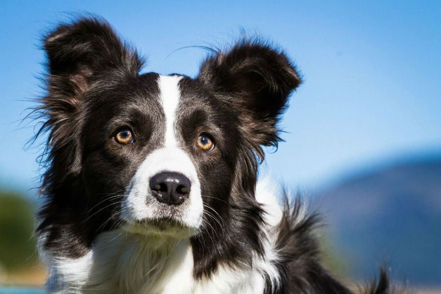 border-collie-aparencia