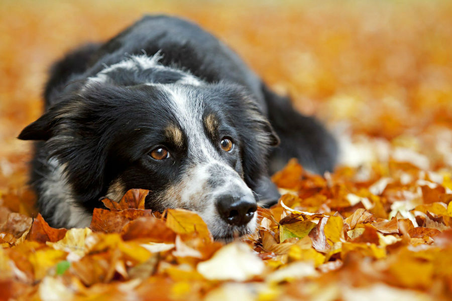 border-collie-saude
