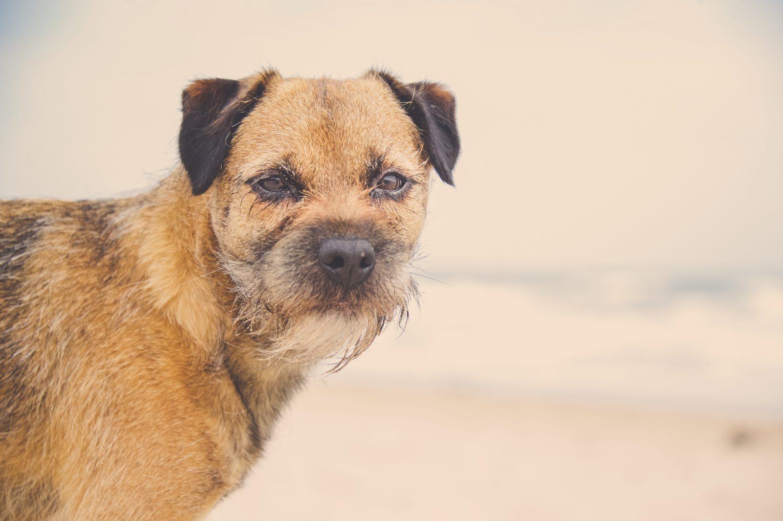 border-terrier-aparencia