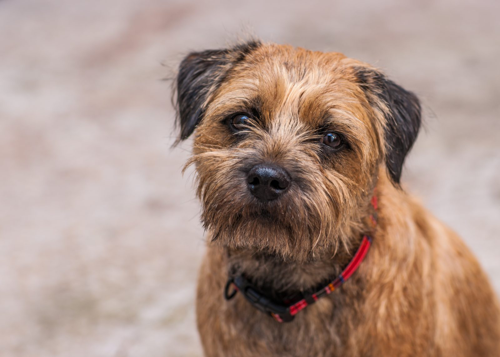 border-terrier-intro