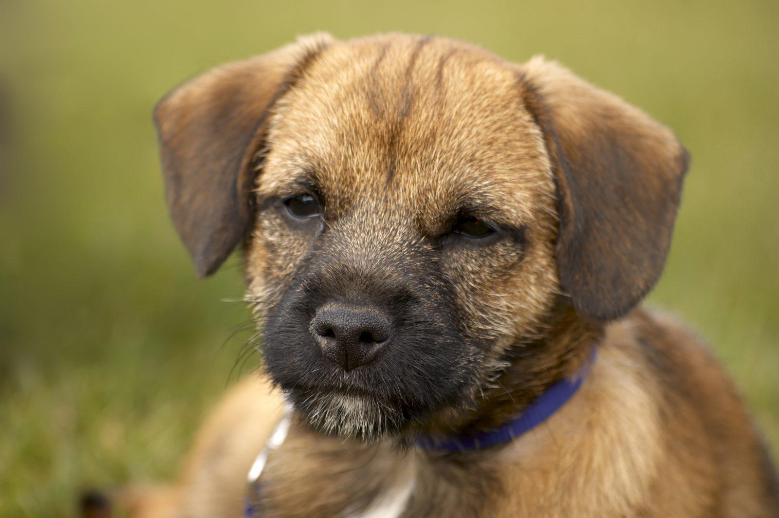 border-terrier-saude