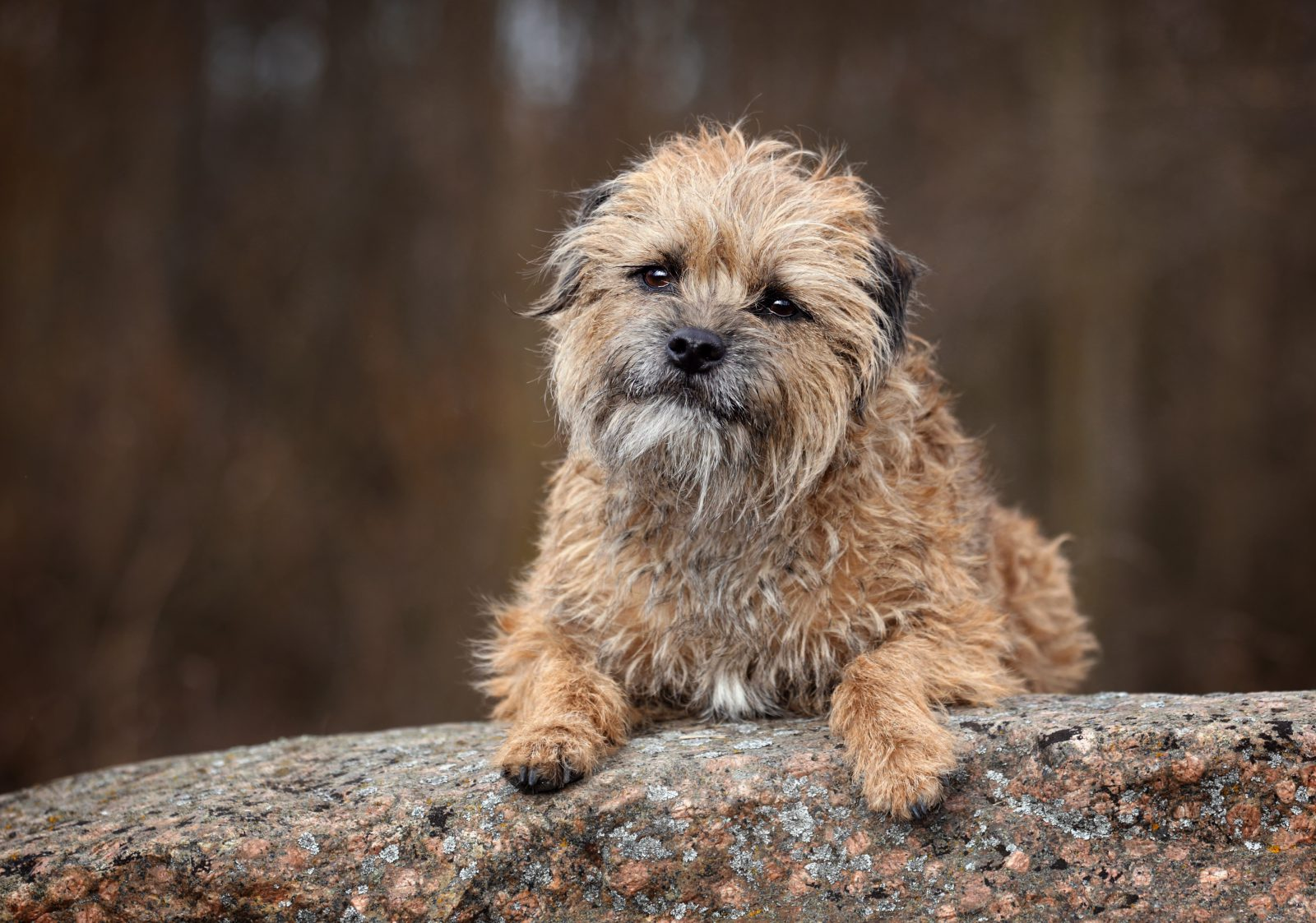 border-terrier-temperamento