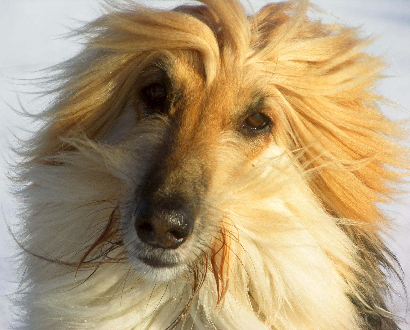 cachorro feio: borzoi