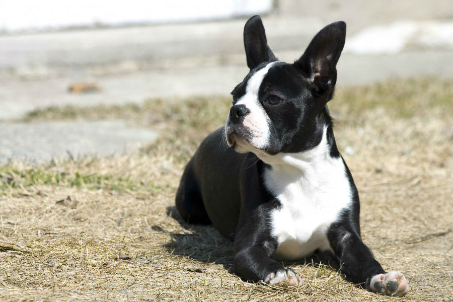 cachorro-boston-terrier-saude