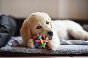 Golden retriever filhote brincando com brinquedos para cachorro.