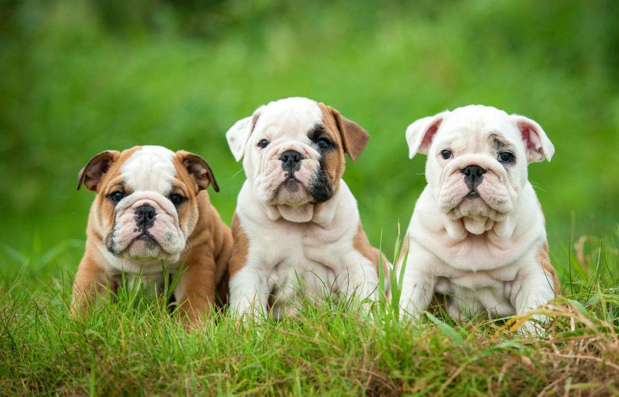 cachorro-buldogue-intro