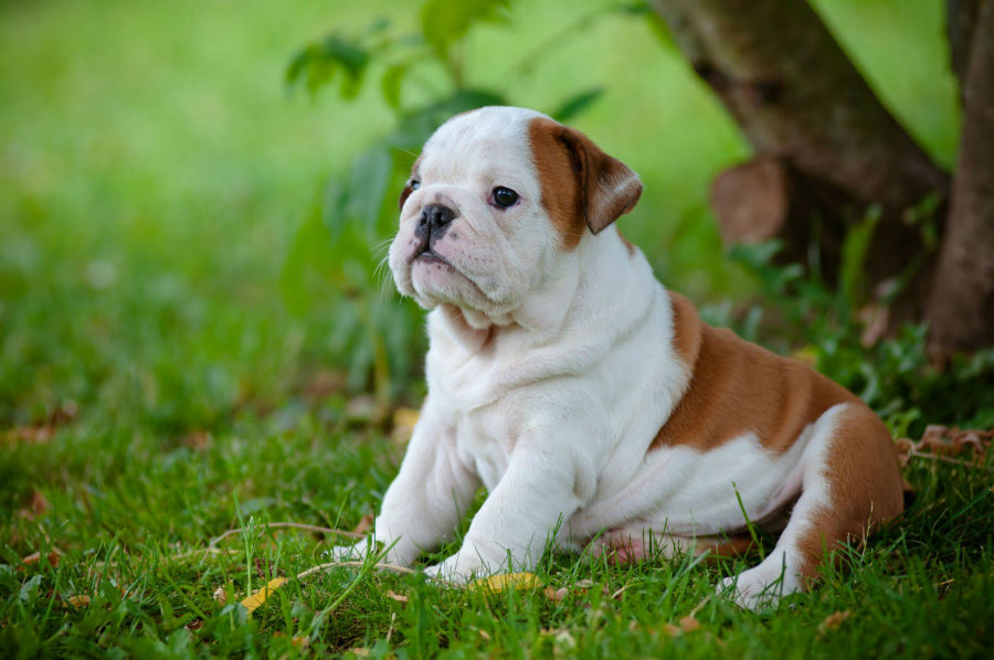 cachorro-buldogue-saude