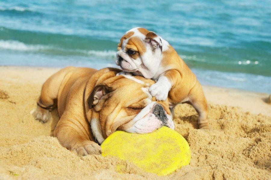 cachorro-buldogue-temperamento