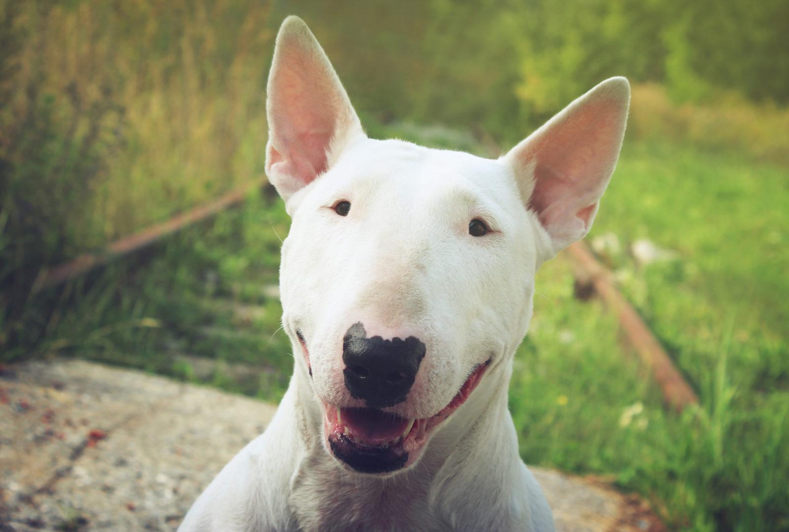 cachorro feio: bull terrier inglês