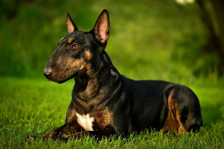 cachorro-bullterrier-aparencia