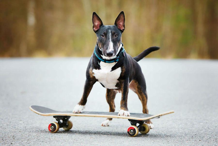 cachorro-bullterrier-atividade