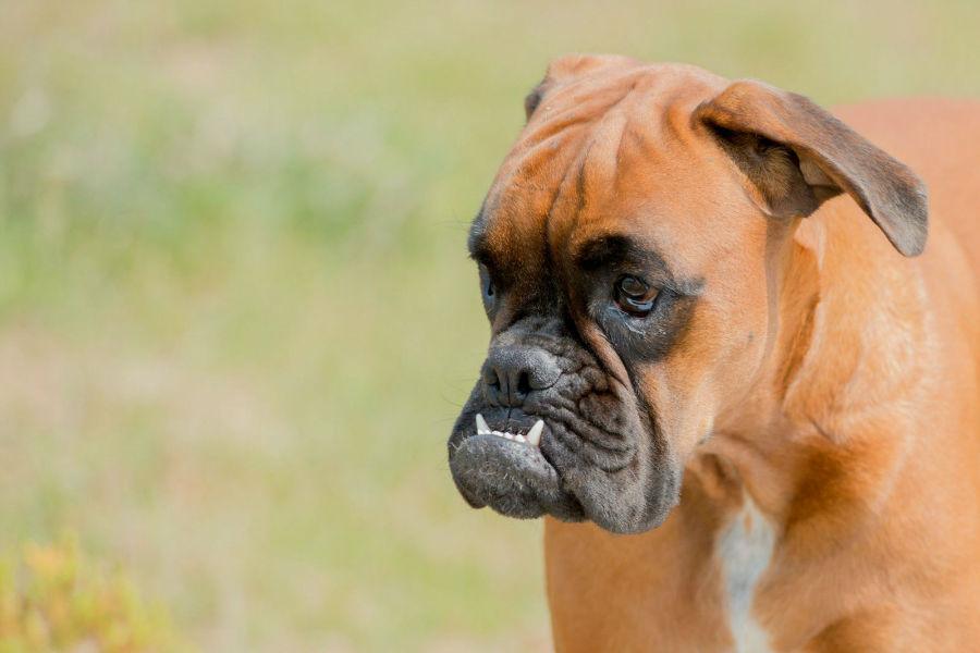 bully-boxer