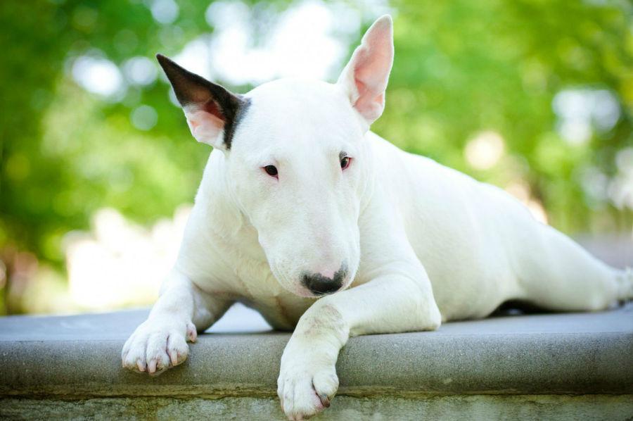 bully-bull-terrier