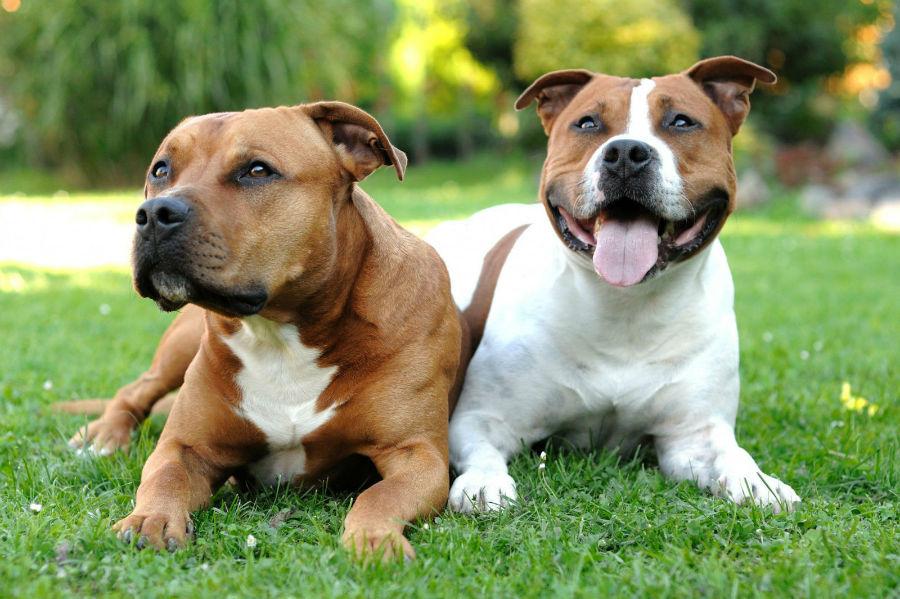 bully-staff-terrier-americano