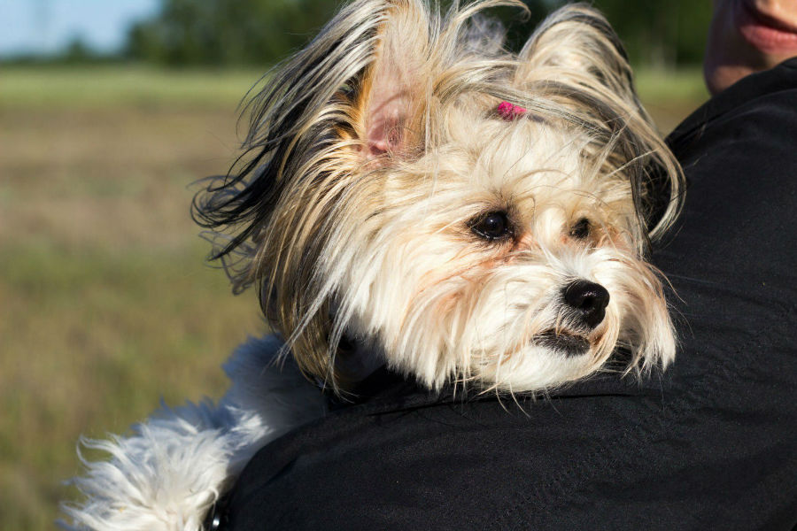 cachorro-caro-chinese-crested
