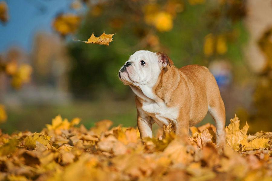 cachorro-caros-buldogue