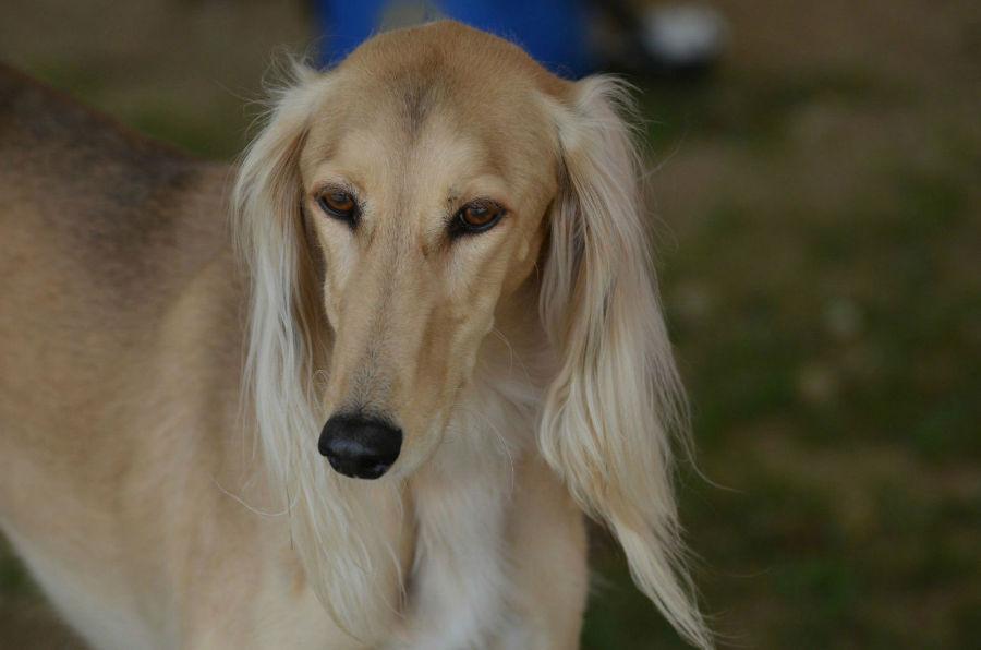 cachorro-caros-saluki