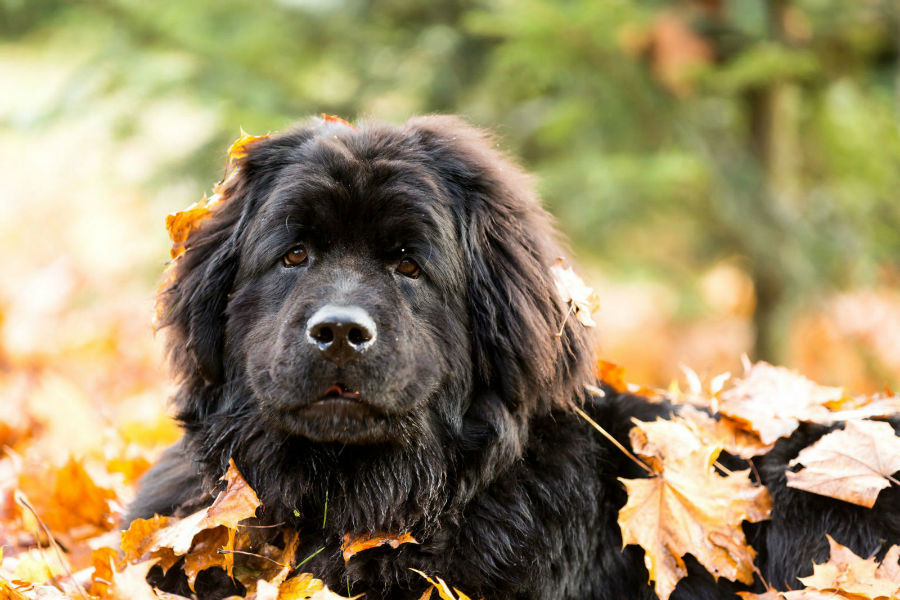 cachorro-caros-terranova