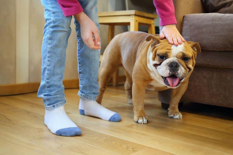 cachorro-crianca-buldogue-ingles