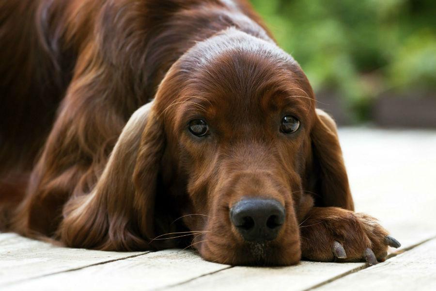 cachorro-crianca-setter-irlandes